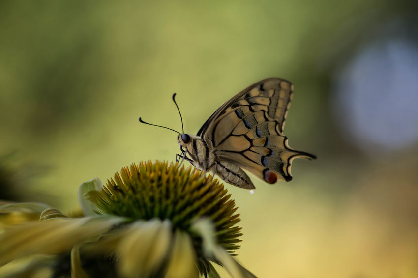 Animal Themes Animal Wildlife Animals In The Wild Beauty In Nature Butterfly - Insect Close-up Day Flower Flower Head Fragility Freshness Growth Insect Nature No People One Animal Outdoors Perching Plant Pollination Selective Focus
