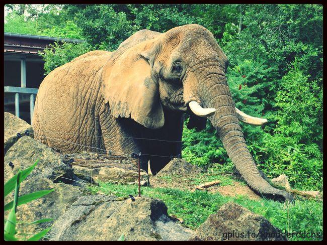 Elefant Elephant Animals Tiere