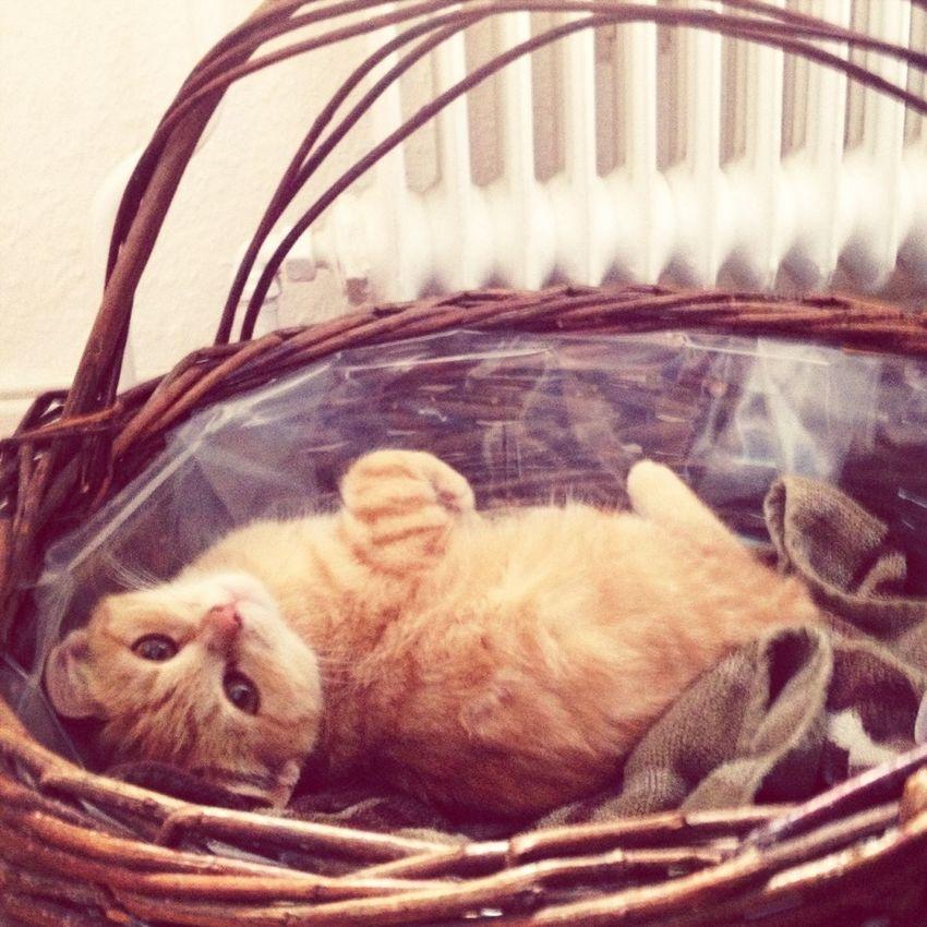 Tigerlou Cat