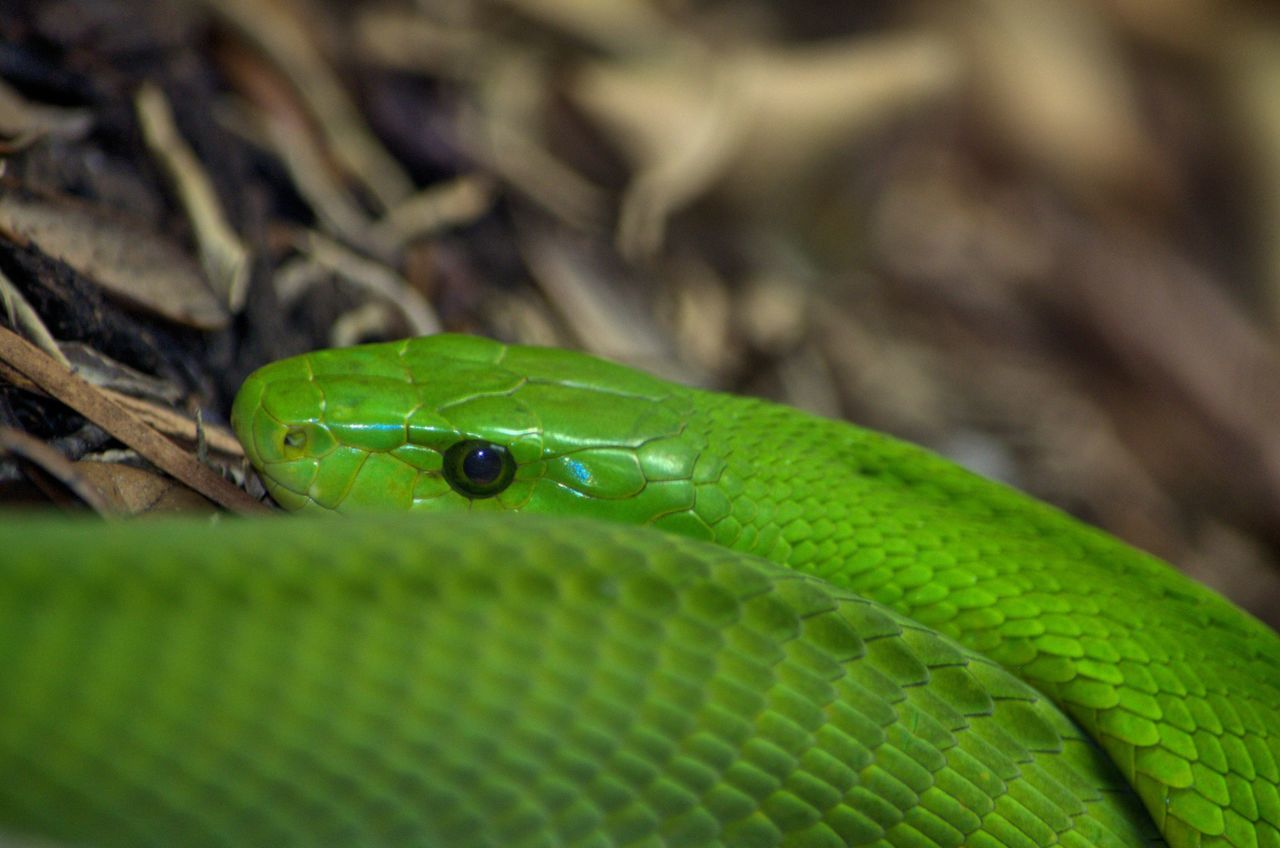 Green Color Animal Wildlife Close-up Nature Beauty In Nature Maximum Closeness Focus Object San Antonio, Texas San Antonio Zoo Snake Green Mamba