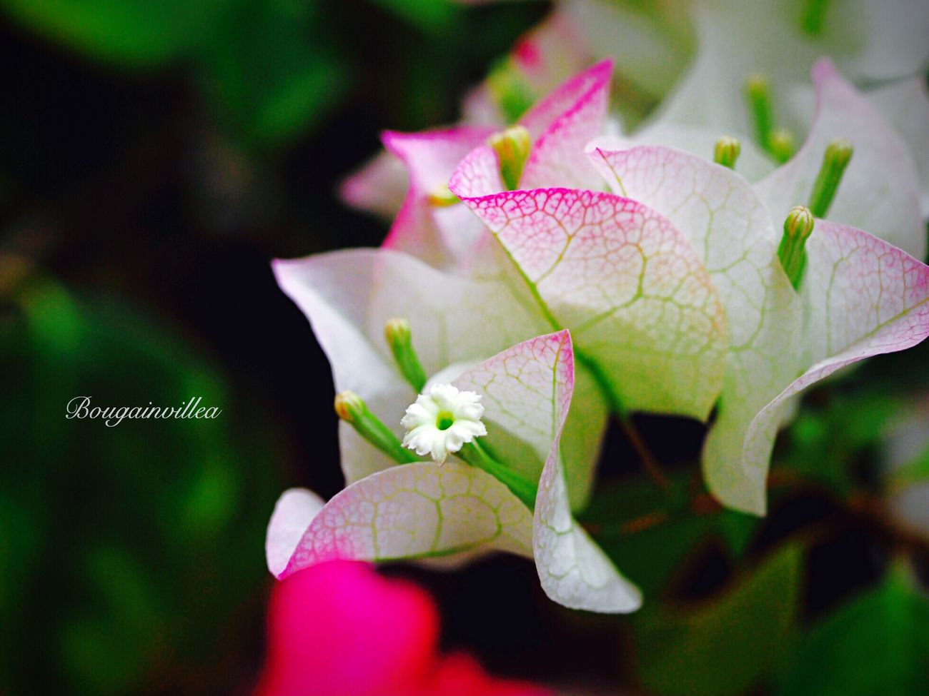 ブーゲンビリア Bougainvillea Flower 花 Enjoying Life EyeEm Best Edits EyeEm Flower EyeEm Nature Lover
