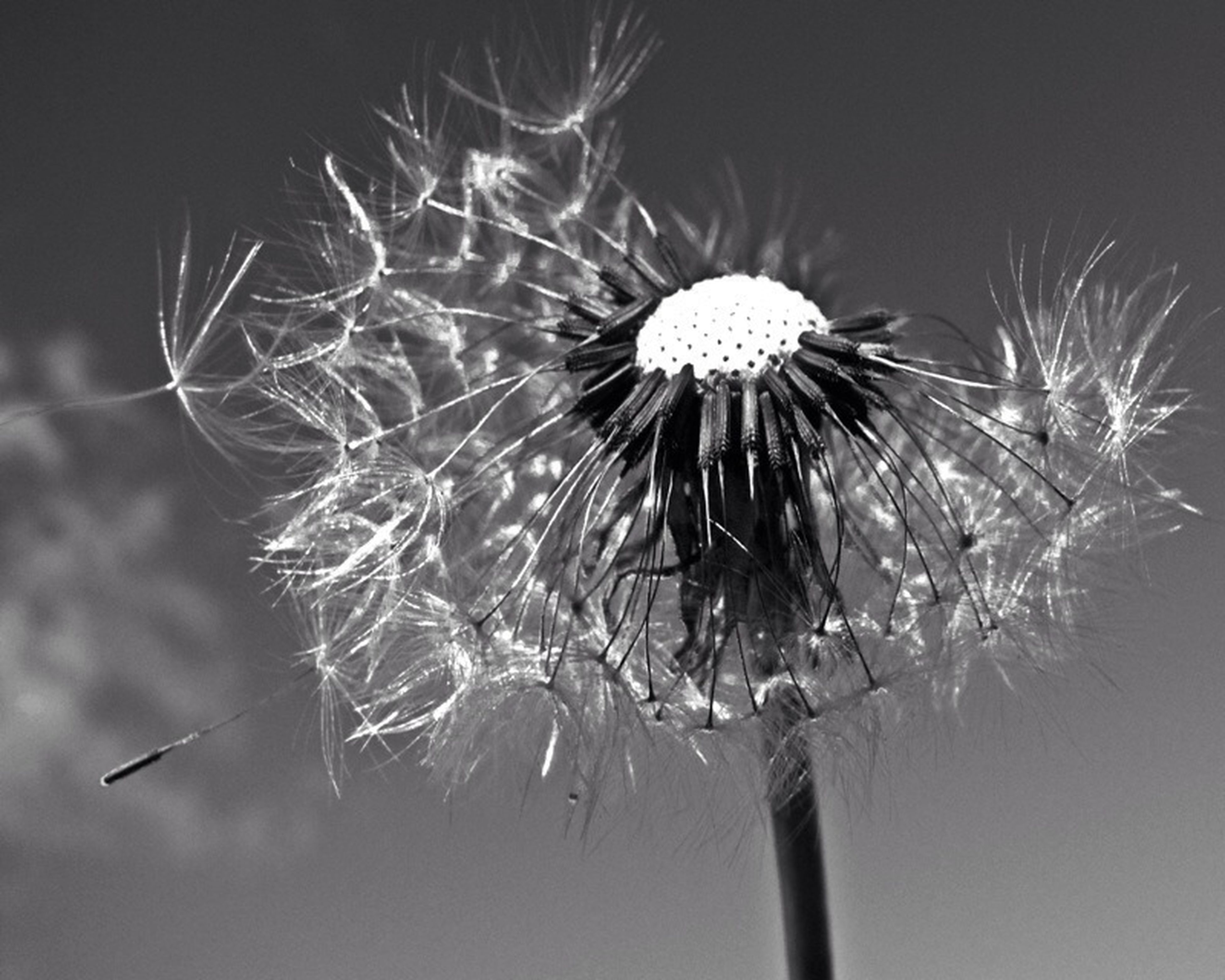 flower, fragility, freshness, flower head, close-up, dandelion, beauty in nature, single flower, growth, nature, focus on foreground, petal, stem, plant, softness, water, no people, drop, outdoors, dandelion seed