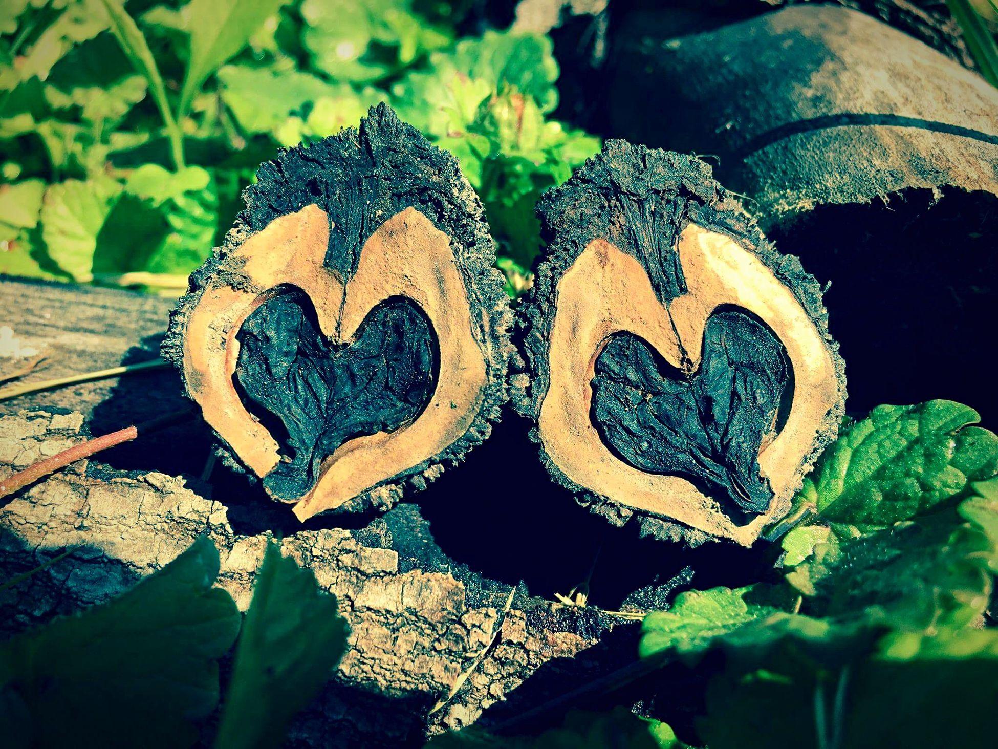 Black Walnut Black Walnut Seeds Heart Shape Love Nature Close-up Wood - Material No People Outdoors Beautiful Nature Natural Love Nature Love Nature Nature Photography Love LoveNature Shared Hearts Hearts In Nature Heartshape
