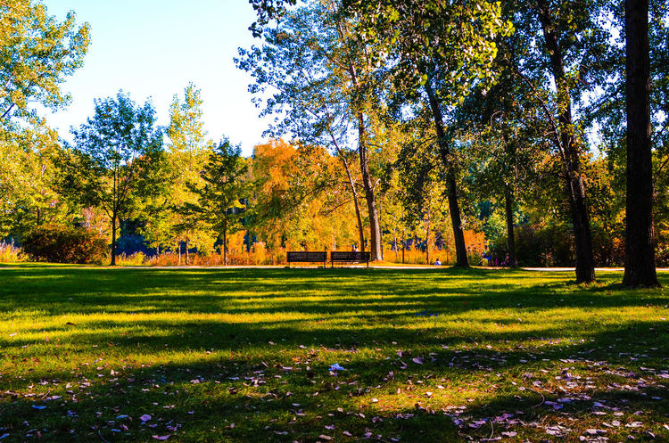 A place to relax Tree Growth Nature Yellow Beauty In Nature Grass No People Sky Outdoors Flower Day On Eyeem Eyeem Photography Fresh On Eyeem  Nature Photography EyeEm Best Shots - Landscape EyeEm Best Shots - Nature EyeEm Nature Lover Angrignon Park Autumn🍁🍁🍁 Autumn Colors Bench Benches Benches & Branches MTLblog