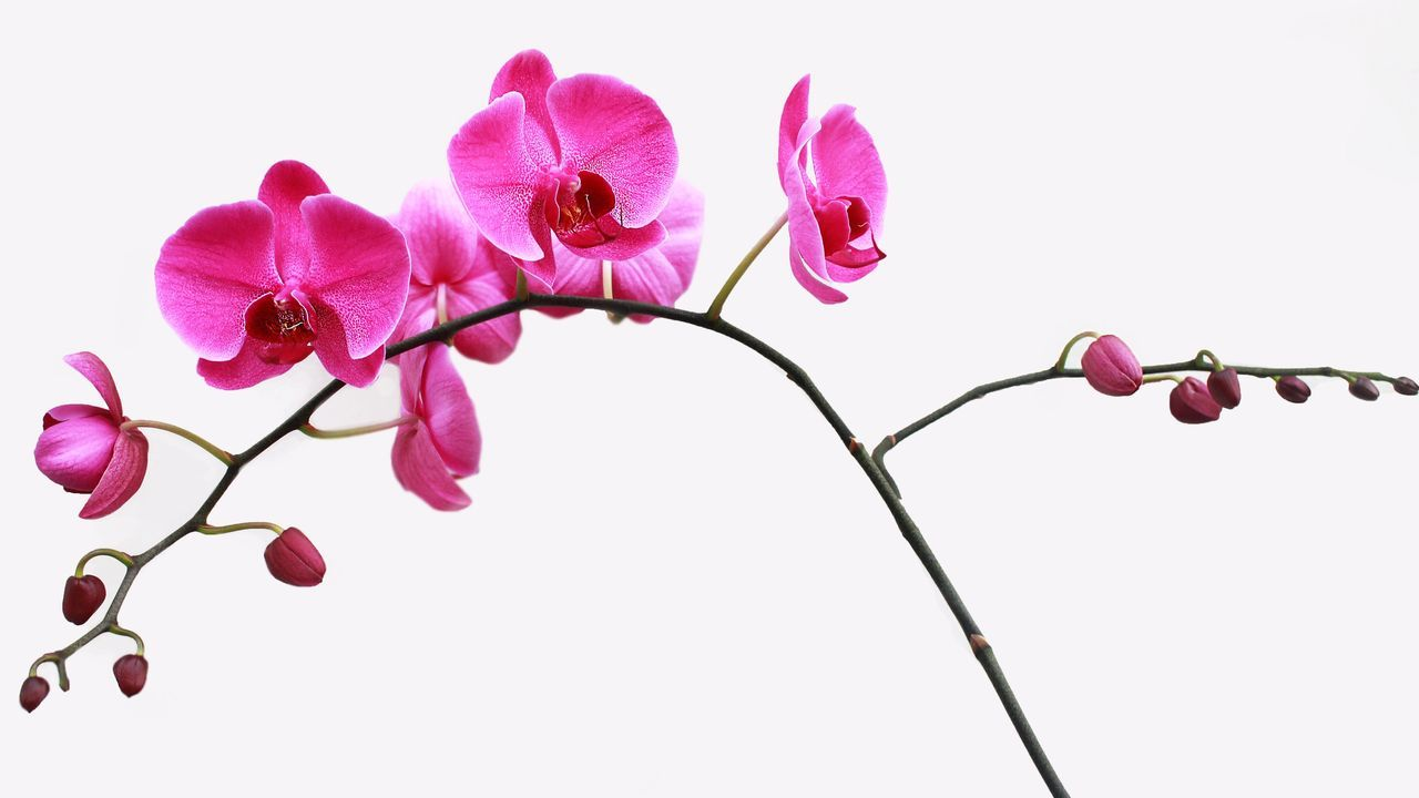 Beautiful stock photos of white background, Bud, Close-Up, Copy Space, Flower