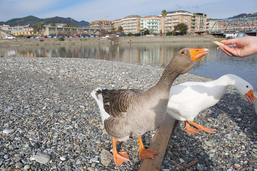 White and gray geese at the mouth of the river Entella - Chiavari - Italy Animals In The Wild Beak Chiavari Geese Mouth Nature Photography Wildlife & Nature Animal Animal Themes Animals Animals In The Wild Bird Day Entella Goose Gray Lavagna Nature Outdoors River Sand Water Waterfront White Wild