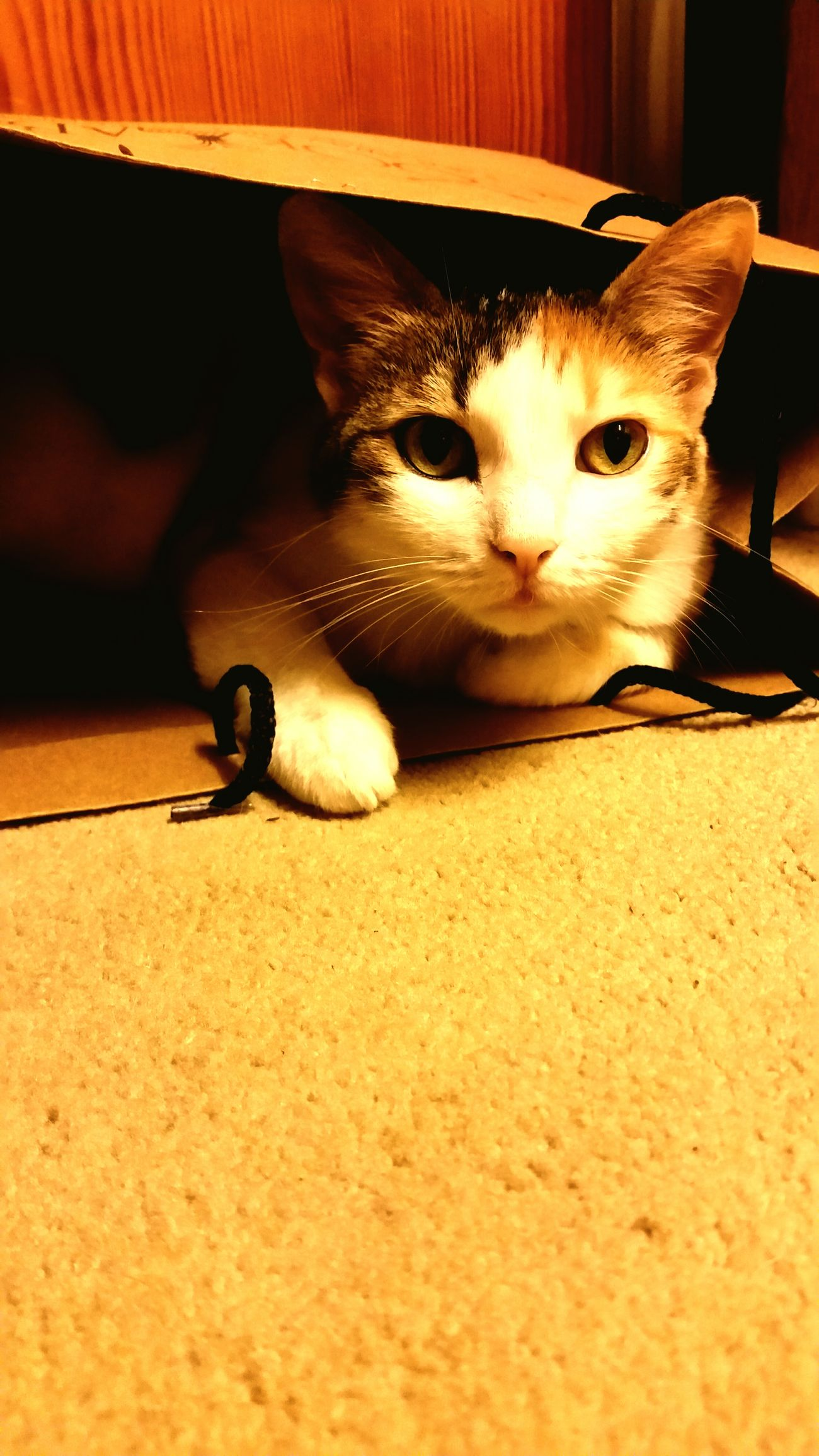 Pets Animal Themes Indoors  No People One Animal Cat Cat Lovers Cat♡ Cats 🐱 Catlovers Cats Of EyeEm Fındık Kedi Kedicik Beauty In Nature Beautiful Beauty Animal Pet Pet Photography  Pet Love Samsung Galaxy S5 PhonePhotography