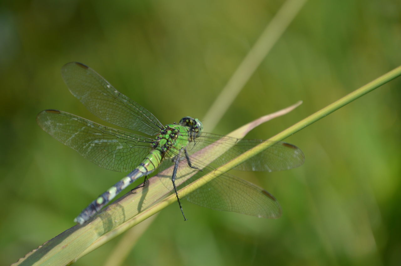 Close-up Dragonfly Dragonfly Landing Green Color Insect Lake Macro Dragonfly Nature Outdoors Selective Focus Wildlife First Eyeem Photo