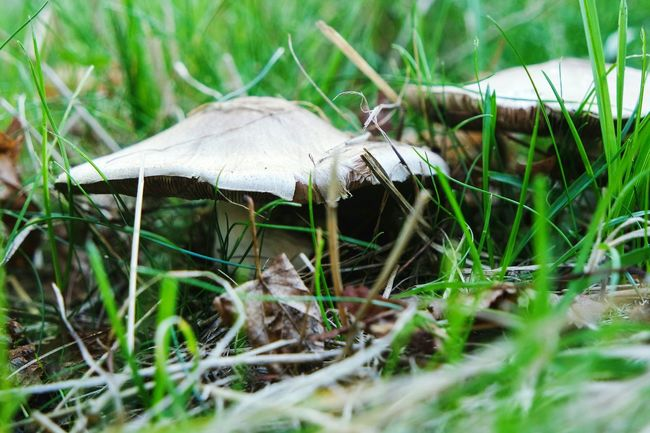 Mushroom in my garden Grass Mushroom Selective Focus Growth Close-up Field Nature Surface Level Toadstool Fungus Tranquility Plant Green Color Day Grassy Blade Of Grass Uncultivated Outdoors Beauty In Nature Botany Fresh 3 EyeEm Best Shots Open Edit Eye4photography  Plant Life
