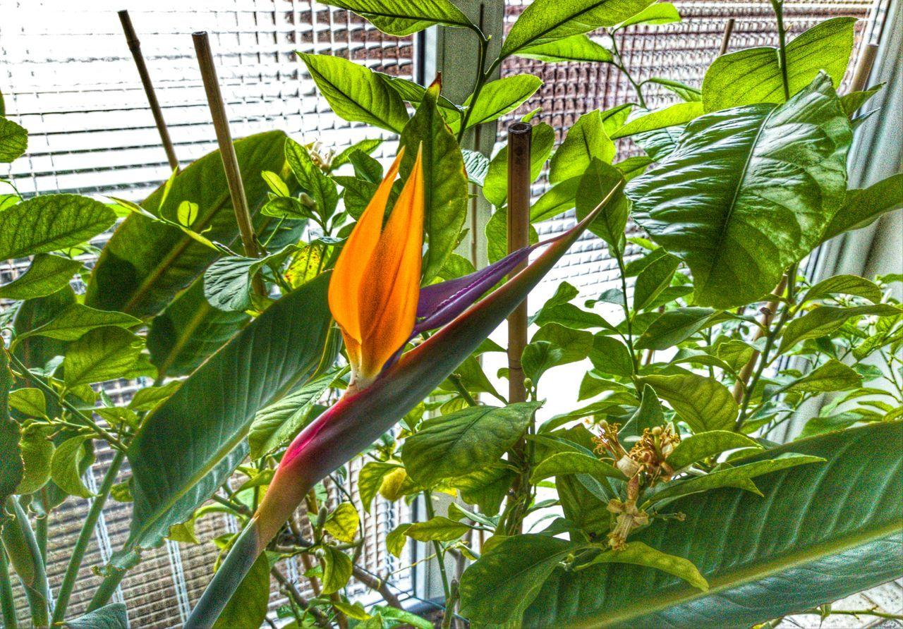 .... Paradiesvogelblume (strelitzia reginae) Botany Flower Green Green Color Growing Growth Nature Ora Paradise Plant StrelitziaReginae