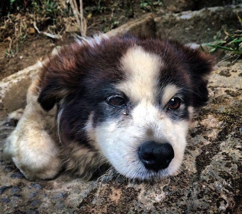 Puppy Puppy Eyes Dog