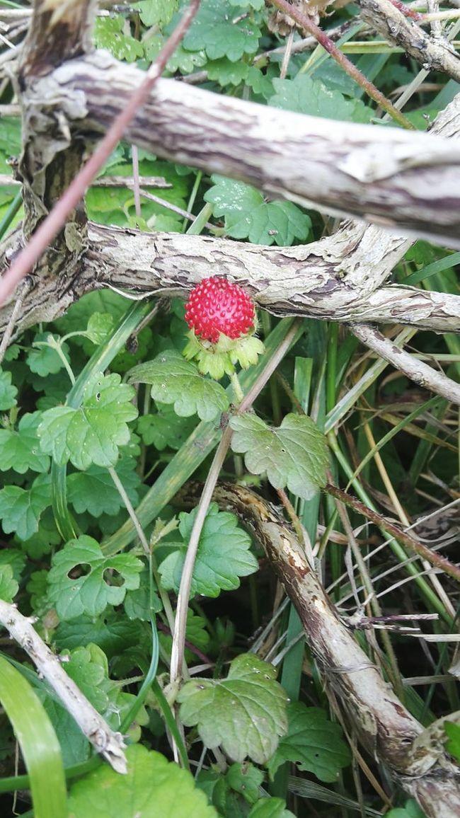 Wild Strawberry Strawberry Plants And Fruits 🌱🍇🍒🍓🍑🌴 Plant Plant Photography Plants Red Fruit Plants 🌱 Plantphotography Plantporn