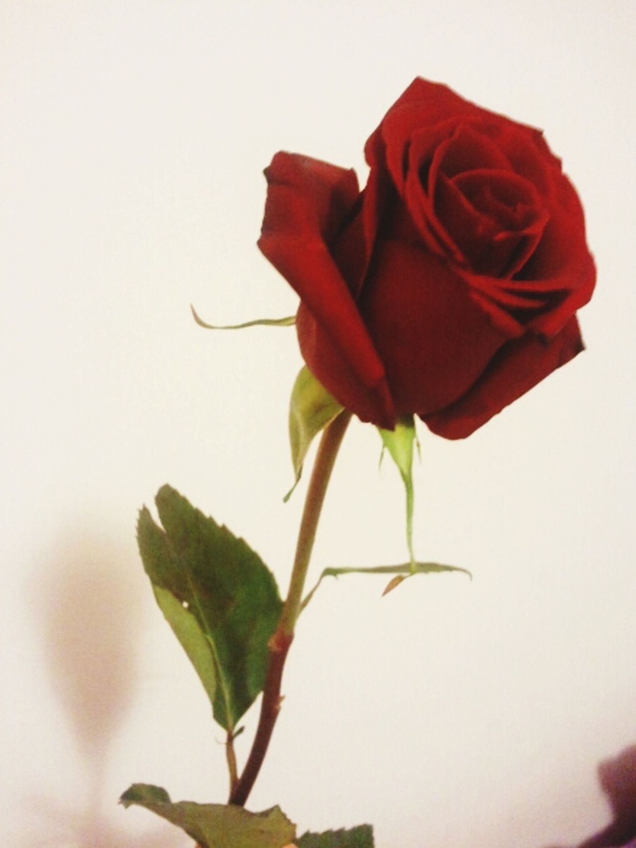 San Valentine's Day Perfect Day Red Rose