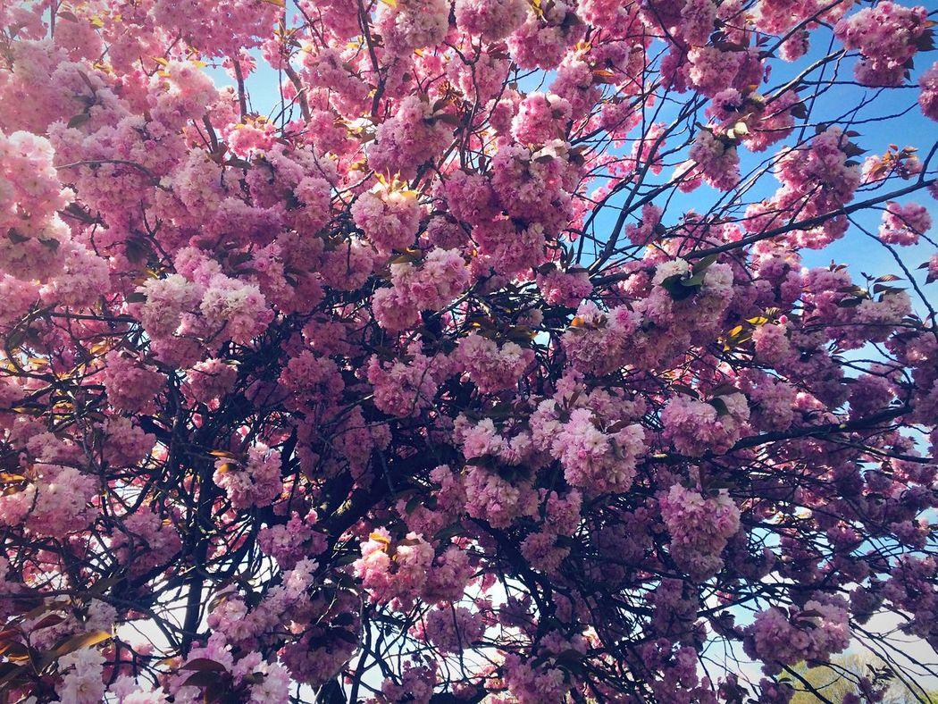 Pink Purple Violet By Motorola Flowers Blossom Trees Nature_collection Nature EyeEm Nature Lover Naturelovers