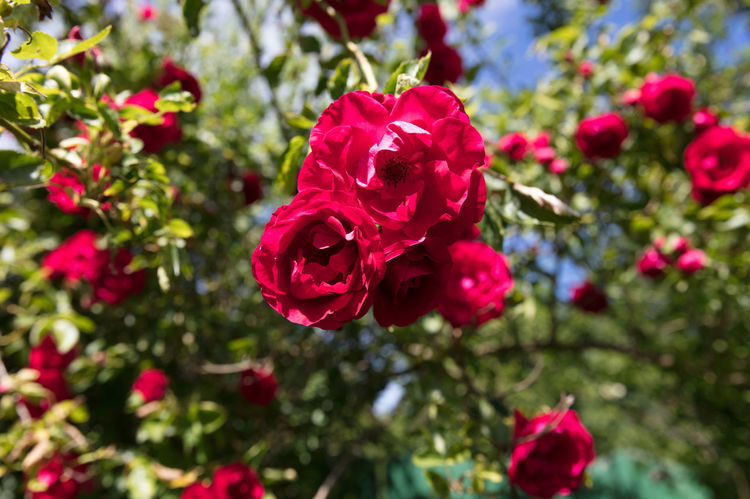 Happiness Love Nature Nature Photography Outside Red Roses Roses Summer Sunny Day Three Roses
