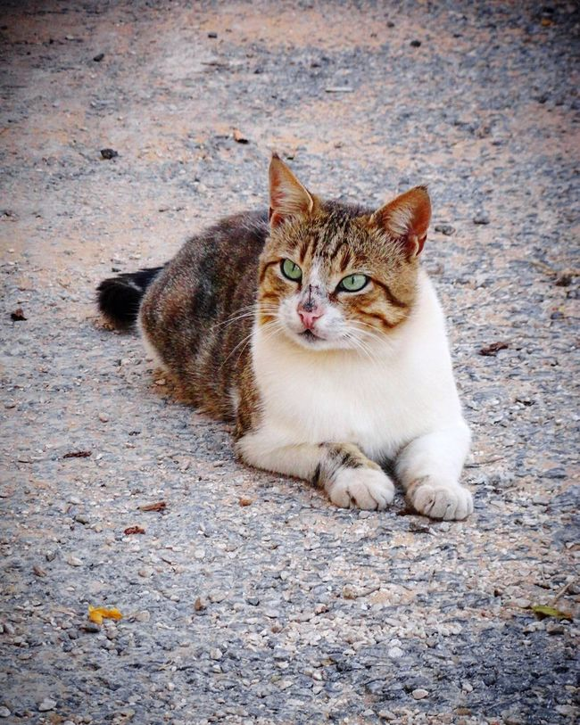 Khiam Lebanon 🇱🇧 Domestic Cat Pets Domestic Animals Animal Themes One Animal Feline Mammal Looking At Camera Portrait Outdoors No People Day