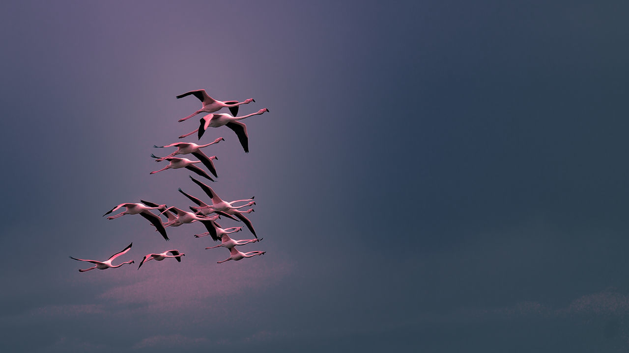 Vol groupé de flamants rose de Camargue Beauty In Nature Camargue Ciel Flamant Rose Flamingo Groupe D'oiseaux Migratory Birds Oiseau En Vol Sky First Eyeem Photo