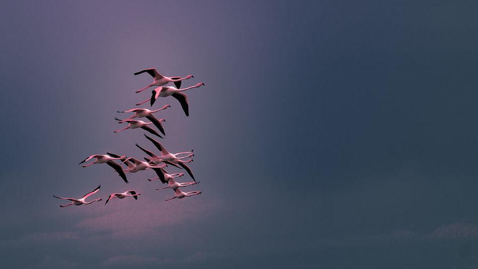 Vol groupé de flamants rose de Camargue Beauty In Nature Camargue Ciel Flamant Rose Flamingo Groupe D'oiseaux Migratory Birds Oiseau En Vol Sky First Eyeem Photo