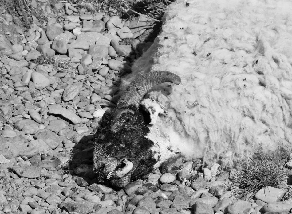Most probably hit by a car. The birds were feeding on the flies but I couldn't stay to get anymore photos because of the smell!!! Animal Black & White Black And White Black And White Collection  Black&white Blackandwhite Blackandwhite Photography Blackandwhitephotography Dead Dead Animal Dead Animals Death Death & Decay Decay Decaying Flies Mammal Mono Monochromatic Monochrome Rock - Object Rotting Sheep