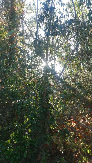 Trees Sun Through The Trees Light And Shadow Sun Beams Beauty In Nature Nature Foliage Lush Foliage Setting Sun Russian River Sonomacounty Mystery