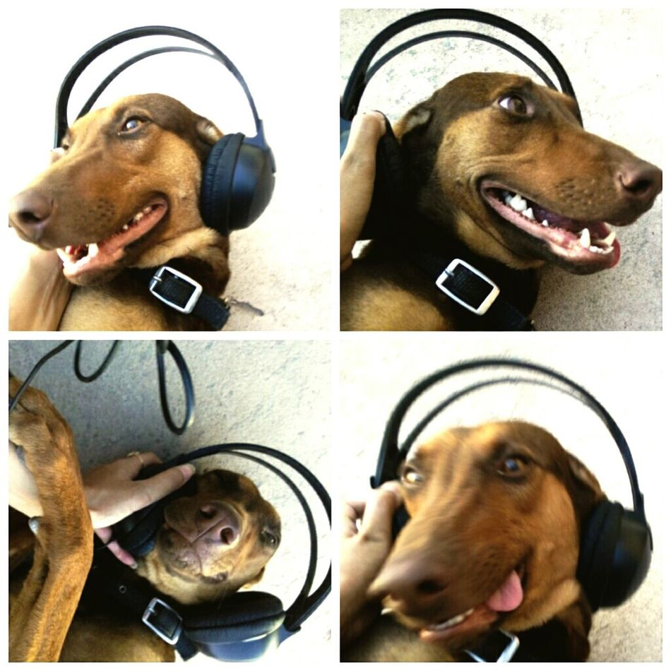 Original Experiences Taking Photos Pets Of Eyeem Petlover Dobermanoftheday Drew Pose FunnyFaces Doggie🙈 Cuteness_Overload Listening Music Trying To Be Cute Animal Photography Jaipurdiaries🎀 Jaipur Rajasthan India