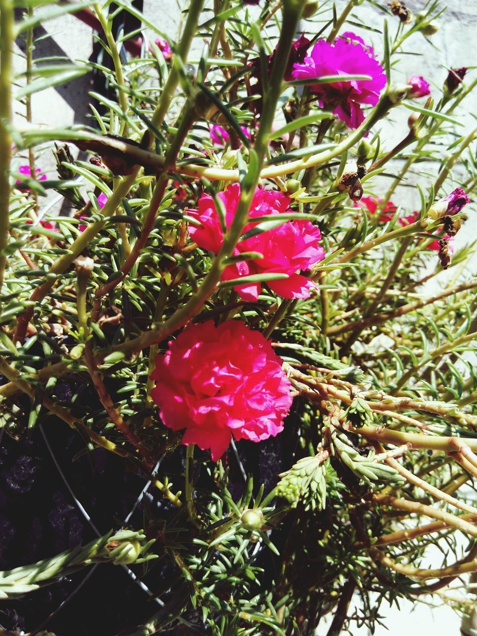 growth, beauty in nature, nature, flower, fragility, red, plant, no people, day, freshness, outdoors, pink color, tree, blooming, branch, flower head, close-up