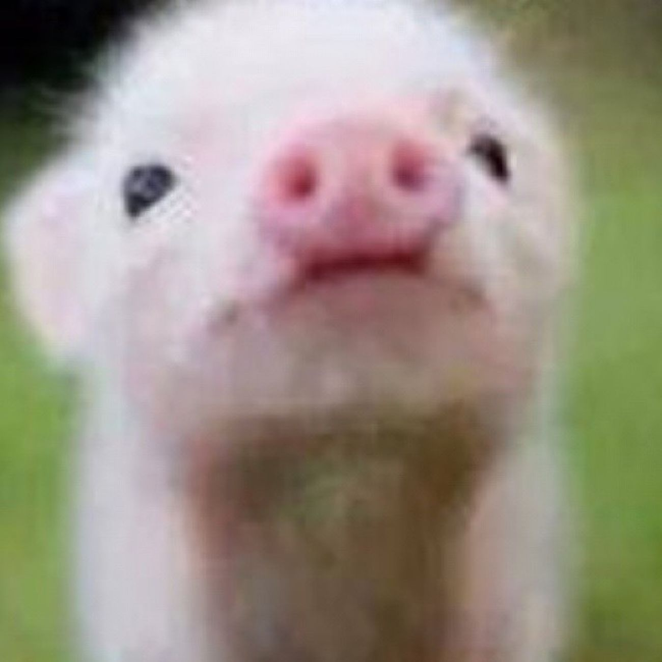 Cute BabyPig Ermerger