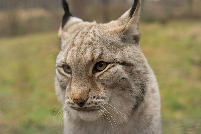 Alertness Animal Head  Animal Themes Cat Close-up Curiosity Depth Of Field Domestic Animals Feline Looking At Camera Lynx Mammal No People One Animal Pets Portrait Relaxation Relaxing Selective Focus Sitting Zoology