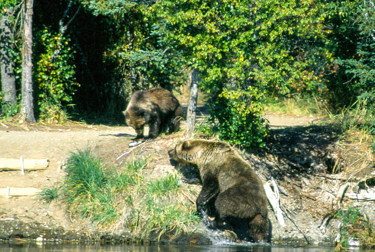 Alaska Alaska Animal Animal Themes Bear Beauty In Nature Brooks River Day Growth Katmai National Park Mammal Nature No People Outdoors Plant Tranquility Tree Two Animals Water Wild Wildlife Wildlife & Nature
