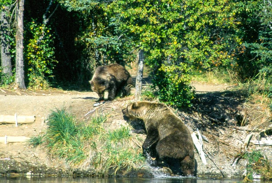 Alaska Alaska Animal Animal Themes Bear Beauty In Nature Brooks River Day Growth Katmai National Park Mammal Nature No People Outdoors Plant Tranquility Tree Two Animals Water Wild Wildlife Wildlife & Nature