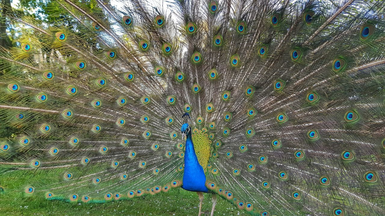 Peacock With Fanned Out On Grassy Field