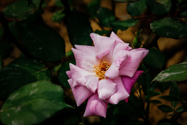 Chines rose Blooming Close-up Day Flower Flower Head Growth Leaf Nature No People Outdoors Petal Pink Color Plant