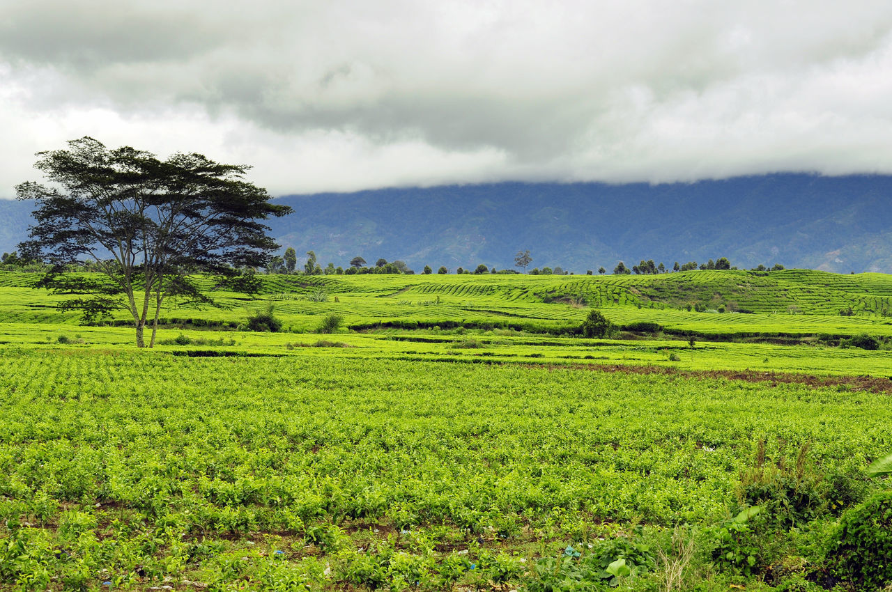 tea field Agriculture Beauty In Nature Cloud - Sky Crop  Day Farm Field Freshness Green Color Growth Idyllic Landscape Nature No People Outdoors Rural Scene Scenics Sky Tea Crop TheWeekOnEyeEM Tranquil Scene Tranquility Tree