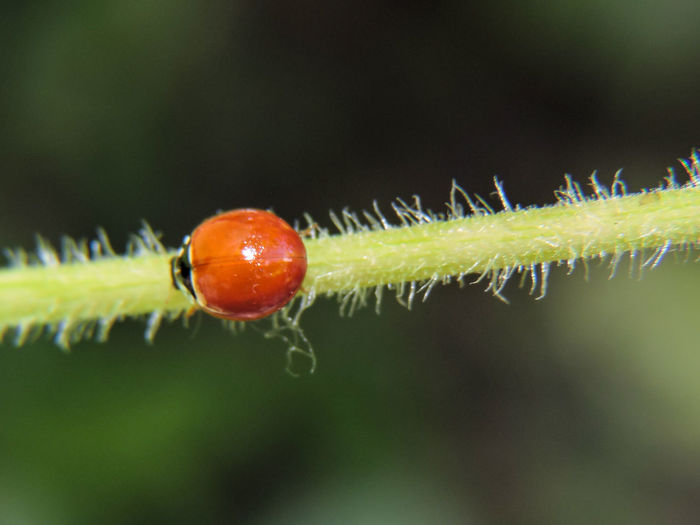 Animals Backgrounds Beauty In Nature Close-up Dark Background Focus On Foreground Green Color Insects  Ladybug Magazhu Nature No People Outdoors Plant Red Selective Focus Showcase August Twig Yelapa