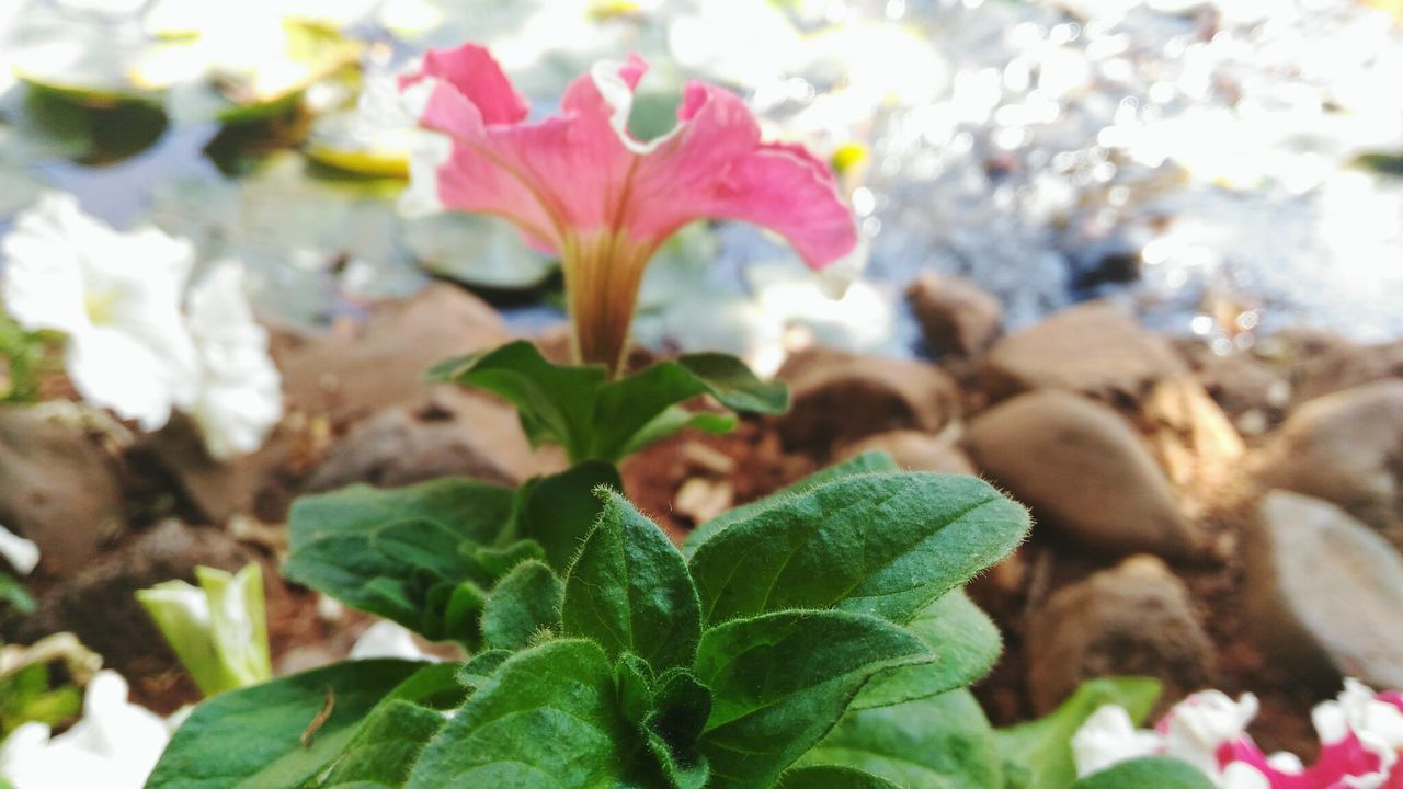 Fragility Growth Plant Freshness Nature Flower Beauty In Nature Leaf Petal Focus On Foreground Close-up Flower Head Outdoors No People Blooming Day