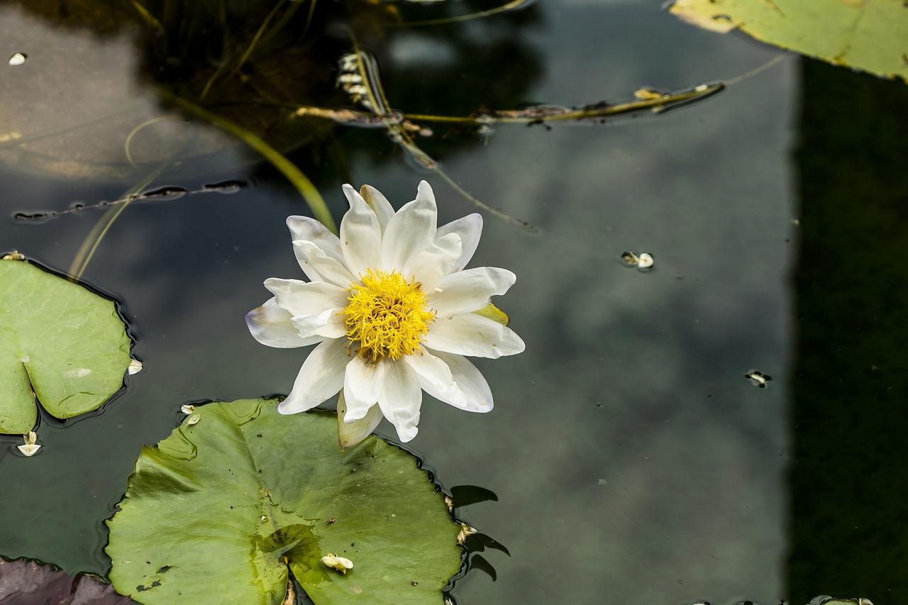 Jogeasa Buddist Temple Lotus Flower White Yellow
