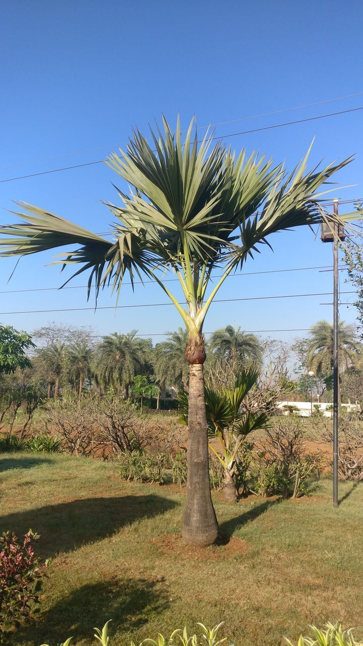 tree, growth, palm tree, nature, no people, clear sky, landscape, field, day, grass, beauty in nature, tranquility, plant, outdoors, blue, sky, scenics