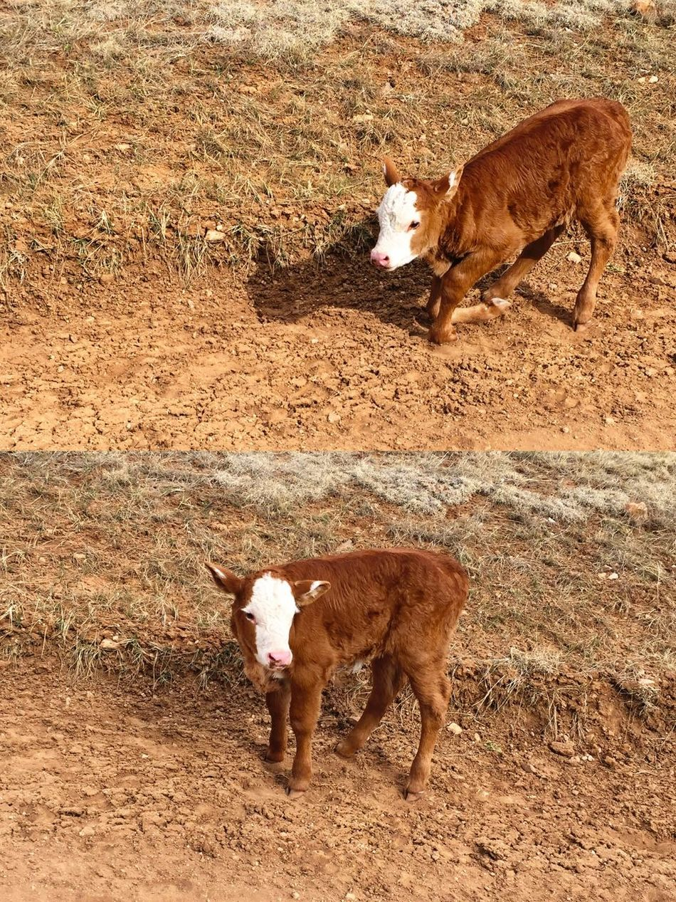"""""""The Struggle"""" A young Red Angus calf struggles to its feet to a successful stand. Calf Cows Redangus Country Life Country Road Cattle Cattlecountry Rural Scenes Rural RuralExploration"""