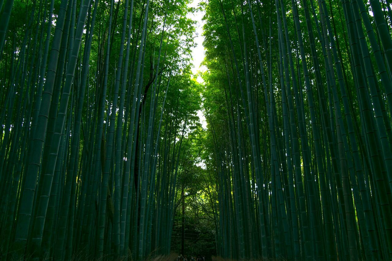 green color, bamboo grove, nature, bamboo - plant, growth, beauty in nature, forest, tree, outdoors, day, abundance, no people, tranquility, scenics