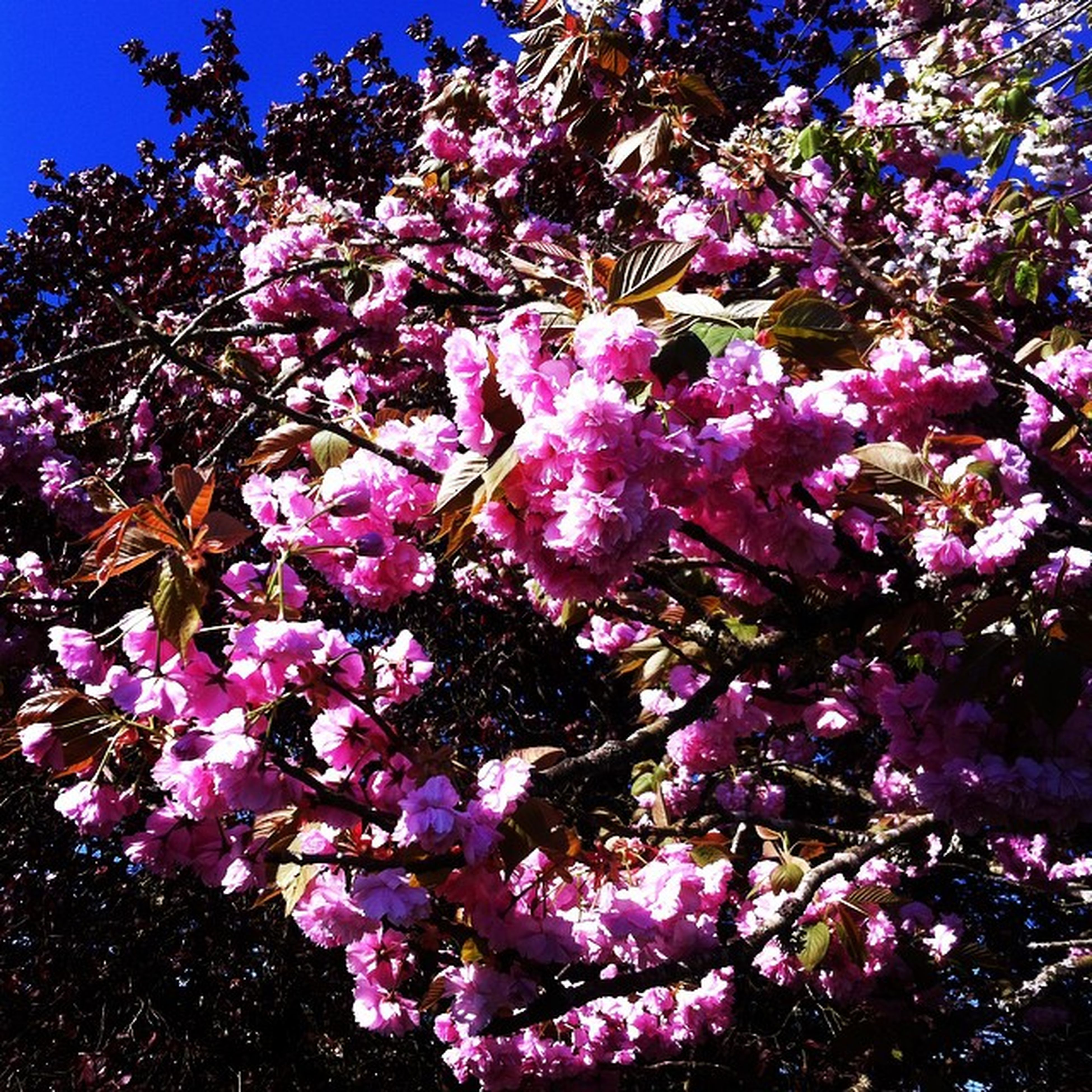 flower, growth, freshness, tree, beauty in nature, fragility, nature, blossom, low angle view, blooming, in bloom, pink color, branch, purple, petal, springtime, blue, cherry blossom, sunlight, clear sky