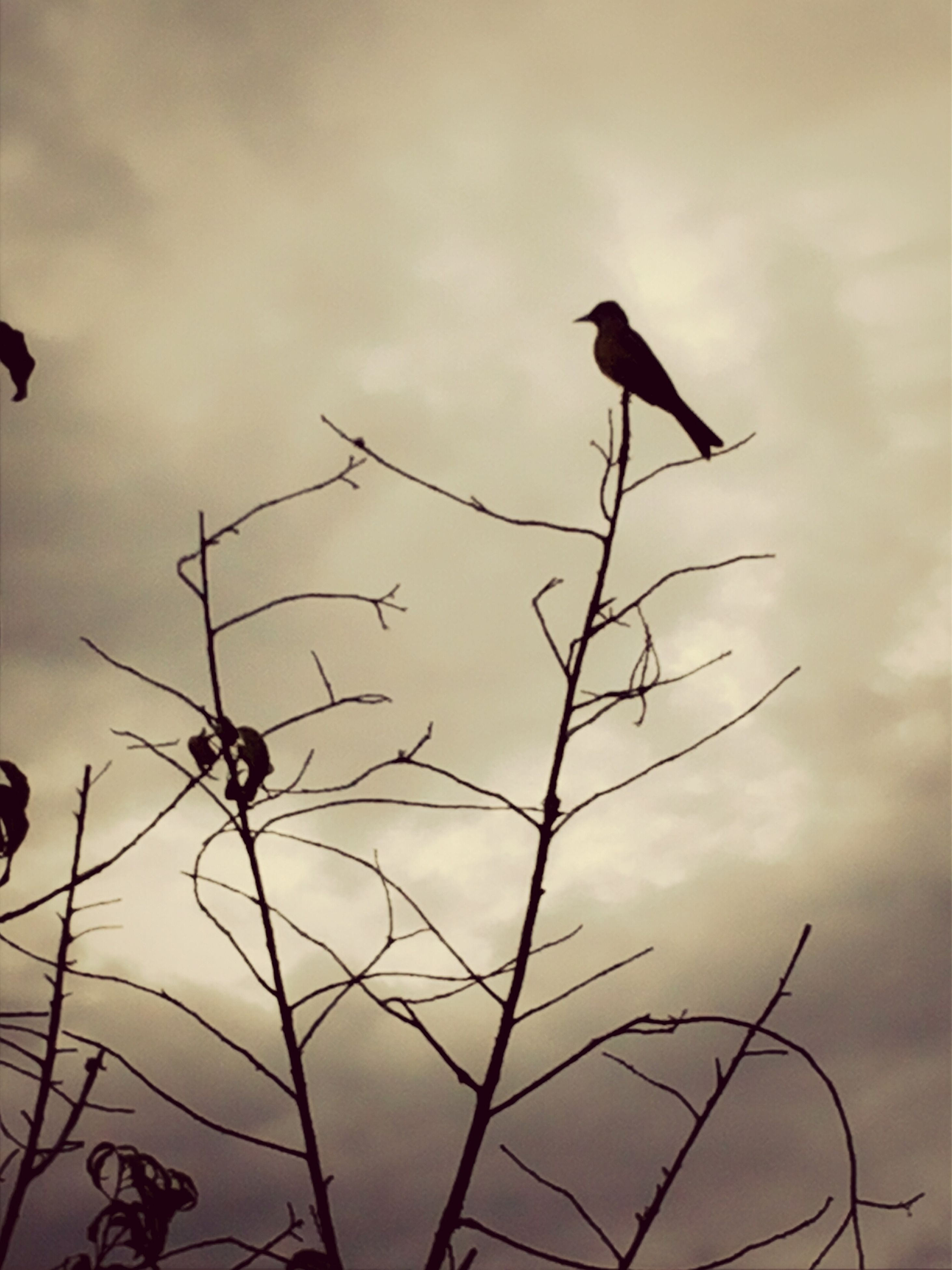bird, animal themes, animals in the wild, wildlife, sky, perching, bare tree, low angle view, silhouette, branch, one animal, nature, tranquility, cloud - sky, beauty in nature, outdoors, dusk, no people, twig, sunset