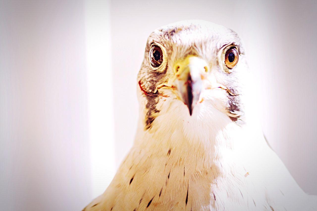 Beautiful stock photos of hawks, Animal Head, Animal Themes, Beak, Bird