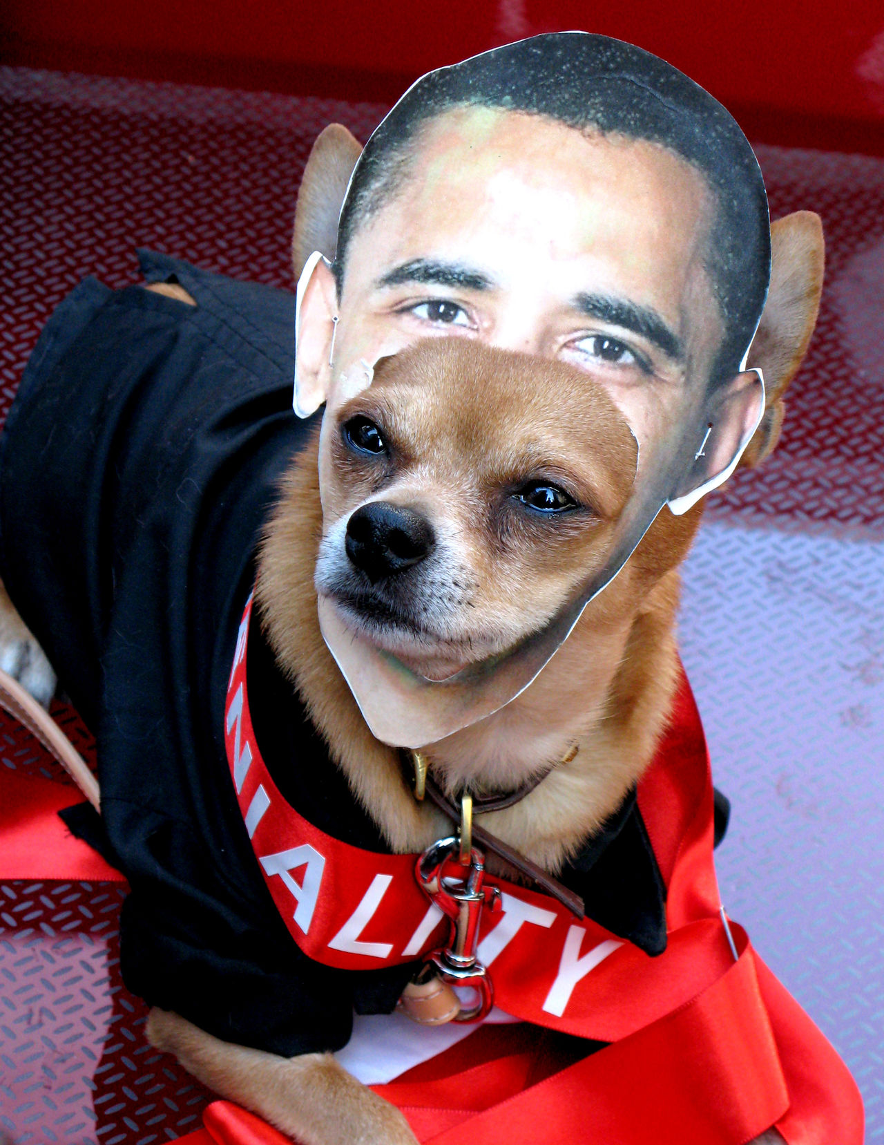 Animal Themes Cheerful Close-up Day Dog Domestic Animals Indoors  Looking At Camera Mammal Necklace Obama One Animal People Pet Clothing Pets Portrait Sitting Smiling