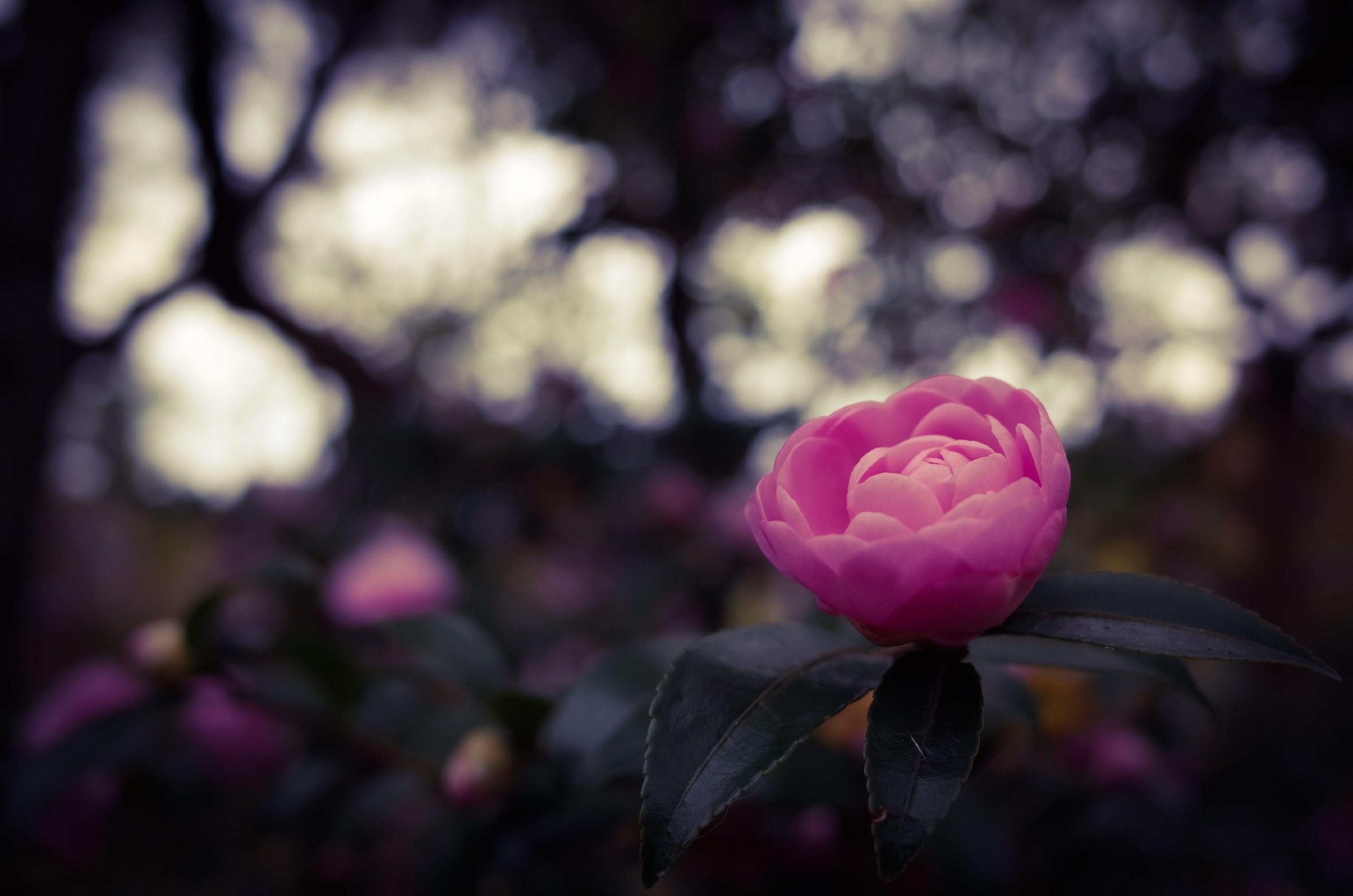 flower, petal, fragility, pink color, growth, focus on foreground, freshness, beauty in nature, close-up, leaf, nature, flower head, rose - flower, plant, blooming, outdoors, bud, day, in bloom, pink