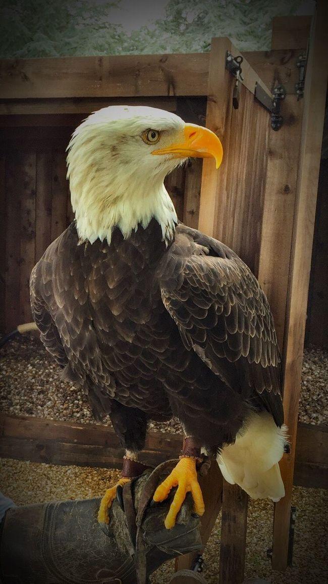 Bald Bald Eagle Wildlife Wildlife & Nature Bird Birds Birdsofprey Amazing Focused Inthewoods Inthemoment Large Animals