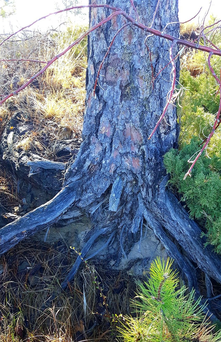 Tree Nature Growth Outdoors No People Day Tranquility Forest Tranquil Scene Beauty In Nature Scenics Multi Colored Nature_collection Nature Photography Nature No People Tree Roots On Rock Close-up Tree Outdoors Day Tenacious Tree Grow Growing Pine Tree Tree Trunk Tree Bark Beauty