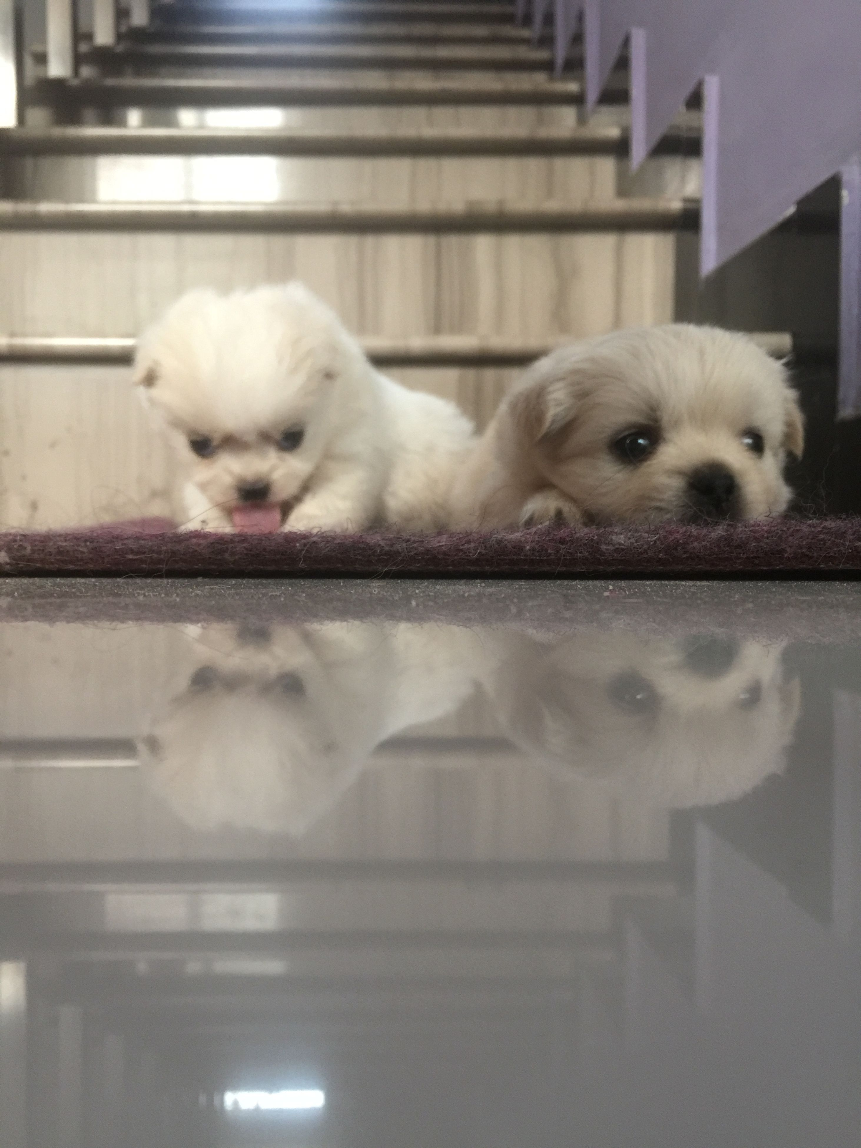 animal themes, domestic animals, pets, one animal, mammal, indoors, dog, cute, white color, two animals, close-up, animal hair, sitting, focus on foreground, togetherness, looking at camera, portrait, young animal, relaxation, front view