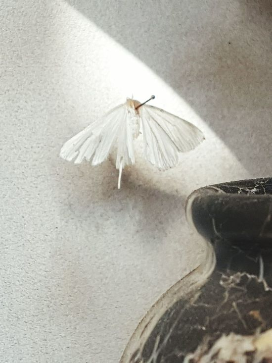 dead moth and urn Moth Close-up Silvery White Moth Wing Nature Morte