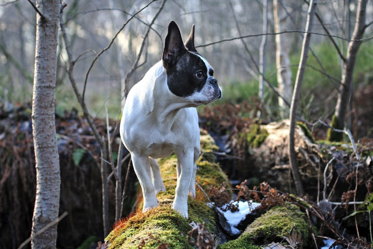 Bullies Dogs Dogs In Action Französische Bulldogge  Frenchbulldog Frenchie Hunde Outdoors