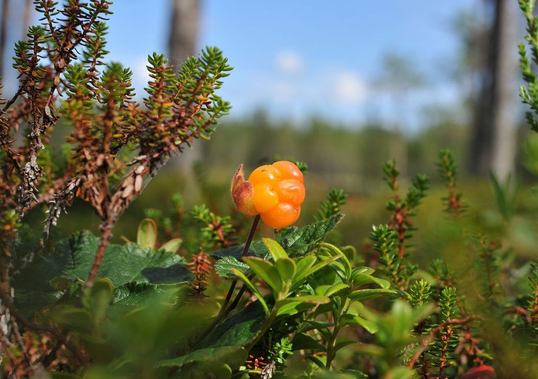 Cloudberry Hjortron Freshness